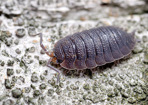 Sow Bug 4